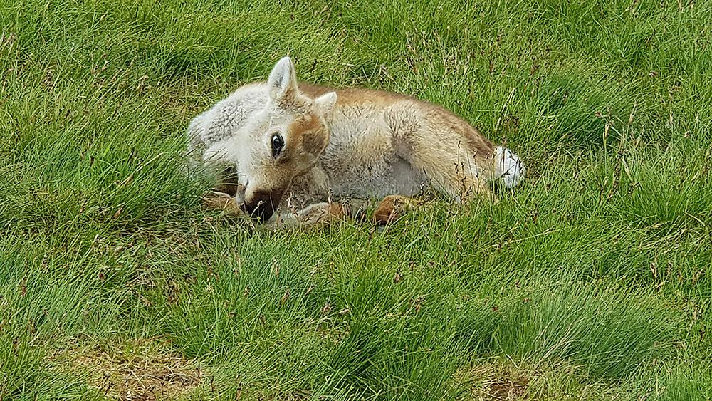 The Gentle Deer